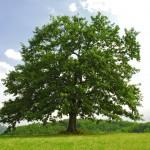 single branchy green old oak on green meadow